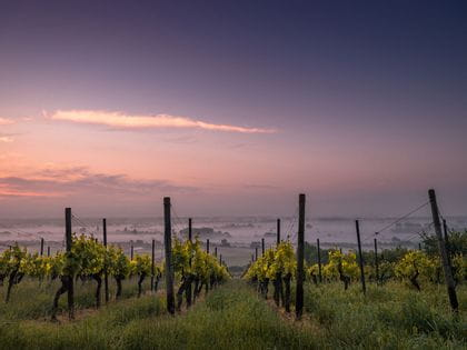 Foggy vineyard at dusk